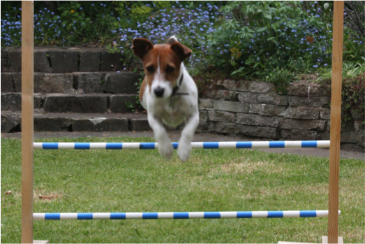 Dog-leaping-hurdle.png